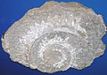Helicoprion ferrieri (fossil shark tooth whorl) (Skinner Ranch Formation, Lower Permian; Dugout Mountain, Brewster County, Texas, USA) 2 (15149539799).jpg