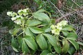 Helleborus argutifolius JPG1a.jpg