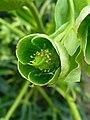 Helleborus foetidus 002.JPG