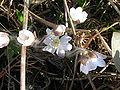 Hepatica nobilis Hvit.JPG