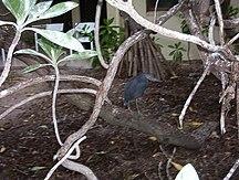 Heron Island-Fauna-Heron Island, Australia - Eastern Reef Egret
