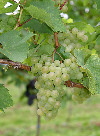 Blaufränkisch - DNA analysis has shown that Blaufränkisch is crossing of Gouais blanc (pictured) and another unknown variety.