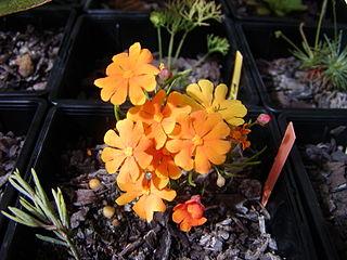 <i>Hibbertia</i> genus of plants