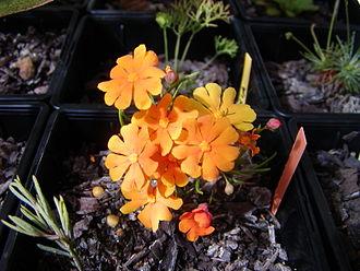 Dilleniaceae - Hibbertia stellaris