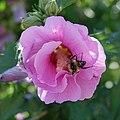 Hibiscus (Hibiscus syriacus) et bourdon (Bombus) (1).jpg