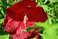 Hibiscus moscheutos Lord Baltimore 5zz.jpg