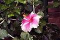 Hibiscus rosa-sinensis Candy Striper 0zz.jpg