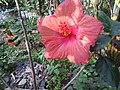 Hibiscus rosa sinensis hybrid-25-hanuman temple-muluvi-yercaud-salem-India.jpg