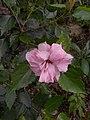 Hibiscus rosa sinensis plenus-2-bsi-yercaud-salem-India.jpg
