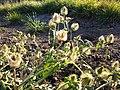Hibiscus trionum sl60.jpg