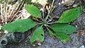 Hieracium vulgatum plant (04).jpg
