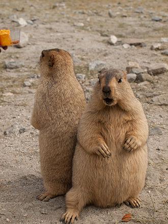 Himalayan marmot - Image: Himalayan Marmots