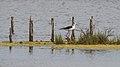 Himantopus himantopus, Lido de Thau 02.jpg