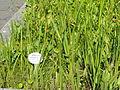 Hippuris vulgaris - Botanischer Garten, Frankfurt am Main - DSC03246.JPG