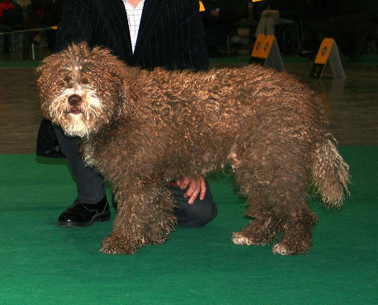 la esperanza de vida del perro de agua español es de 10 a 14 años.