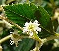Holodiscus argenteus 5.jpg