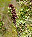 Honeyflower (Melianthus major) (32451933440).jpg