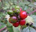 Honeysuckle (Lonicera periclymenum) fruits maturing, Sourlie Wood, Irvine, North Ayrshire.jpg