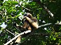 Hoolock Gibbon female.jpg
