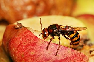 Sawfly - The European hornet is a wasp-waisted Apocritan with a sting, not a Symphytan.