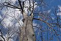 Horse Chestnut Tree.jpg