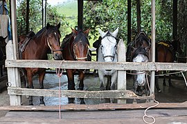 Horses in Cocora Valley, Colombia.jpg