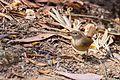 House Wren - Cucarachero Común (Troglodytes aedon albicans) (14308356213).jpg