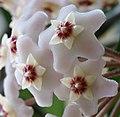 Hoya carnosa.jpg