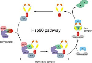 Hsp90 - The Hsp90 chaperone cycle.  X/Y represents an immature incompletely folded protein such a steroid receptor. Hsp40, Hsp70, and p23 are partner chaperones while Hop is a co-chaperone.  Also, X-X represents a mature properly folded protein dimer.