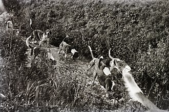 Rabbiting - A group of hounds on the hunt