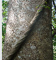 Hura crepitans, spiny trunk of the Sandbox Tree (11239902785).jpg