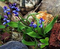 Hyacinthella nervosa cropped.jpg