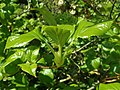 Hydrangea anomala subsp. petiolaris 2019-04-16 0144.jpg