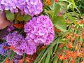 Hydrangea flowers hydrangea macrophylla.jpg