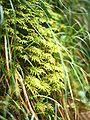 Hylocomium splendens.jpg