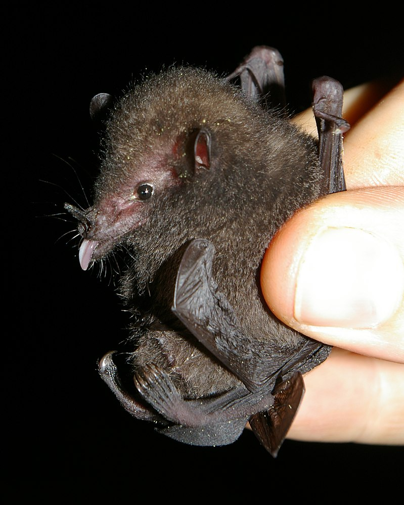 The average adult weight of a Underwood's long-tongued bat is 7 grams (0.02 lbs)