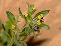 Hyoscyamus pusillus 1.jpg