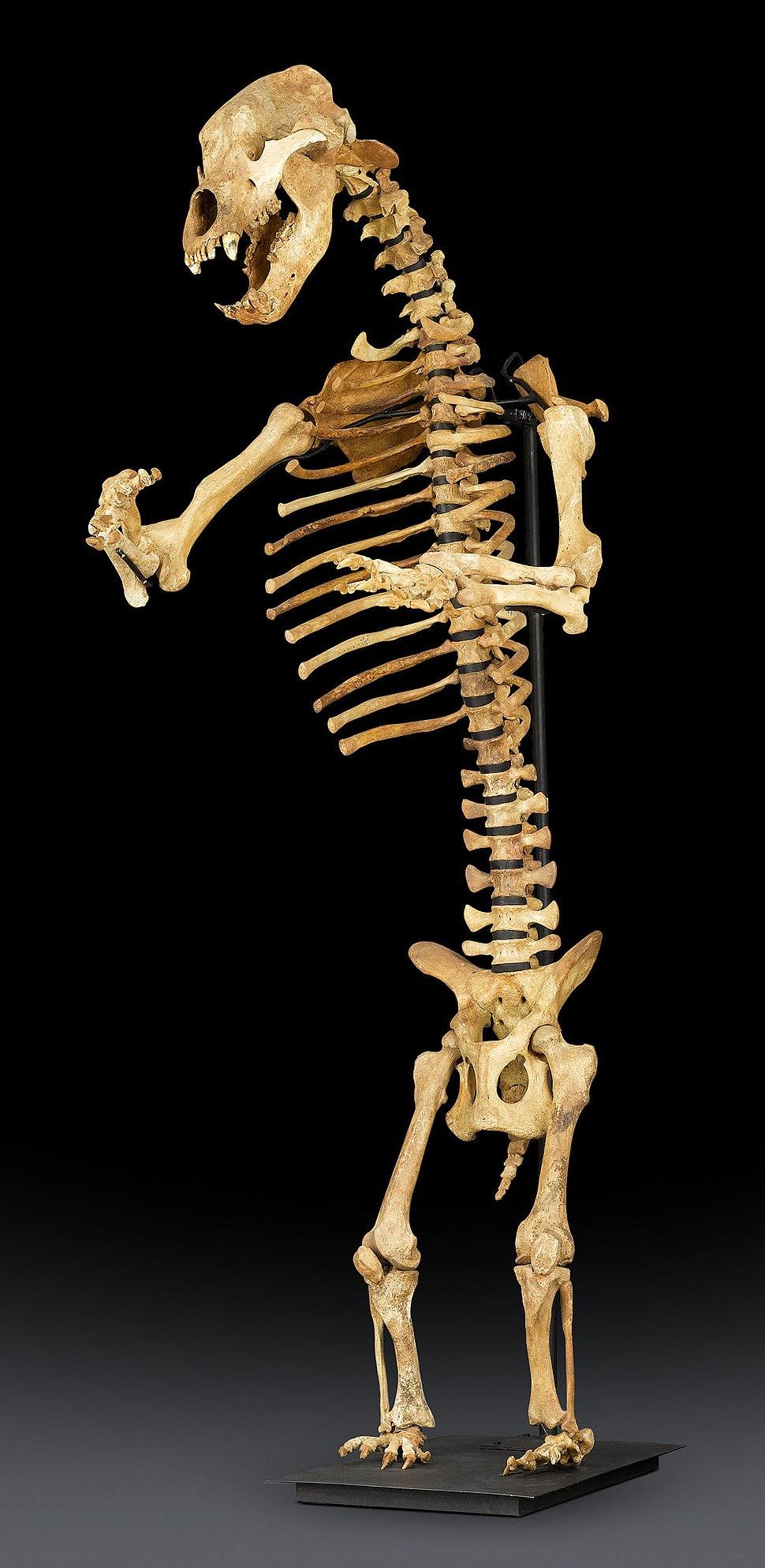 Ice Age Cave Bear Skeleton
