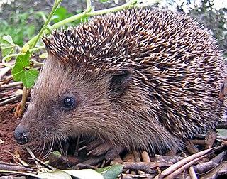 Hedgehog Subfamily of small spiny mammals