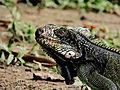 Iguana NG (6020970182).jpg