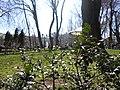 Ilex aquifolium in the Odessa city garden.jpg