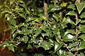 Ilex x aquaprneii 'Dragon Lady' Holly.JPG
