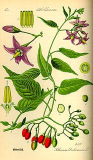 <i>Solanum dulcamara</i> Species of plant