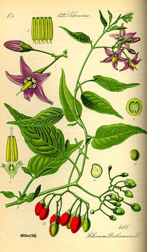 Solanum dulcamara - Image: Illustration Solanum dulcamara 0