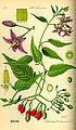 Illustration Solanum dulcamara0.jpg