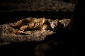 Novosibirsk Zoo - Image: Im tired (5847194805)