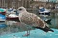 Immature Gull at Brixham - geograph.org.uk - 1508551.jpg