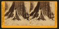In the Mariposa Grove, Mariposa County, Cal, by Watkins, Carleton E., 1829-1916 2.png