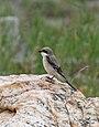 Indian Grey Shrike (Lanius excubitor lahtora) (34537063985).jpg