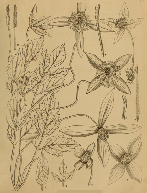 Indian Medicinal Plants - Plate 1 - Clematis napaulensis.png